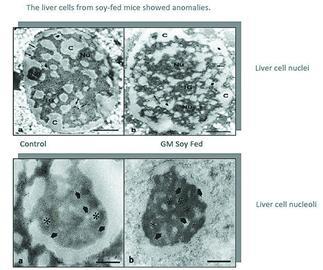 小白鼠肝细胞(左侧为控制组,右侧为转基因喂食组)-两个著名的转图片