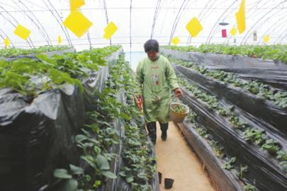 莱芜扶持新型农业 采摘成冬季旅游亮点