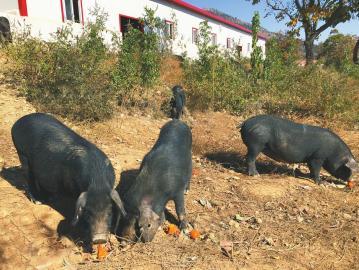 华夏地方猪战略联盟在莱芜成立