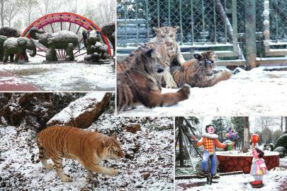 济南野生动物世界的金虎