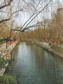 柳枝、迎春花齐齐吐嫩芽 春回护城河