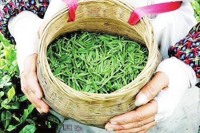 四川宜宾最早春茶开采