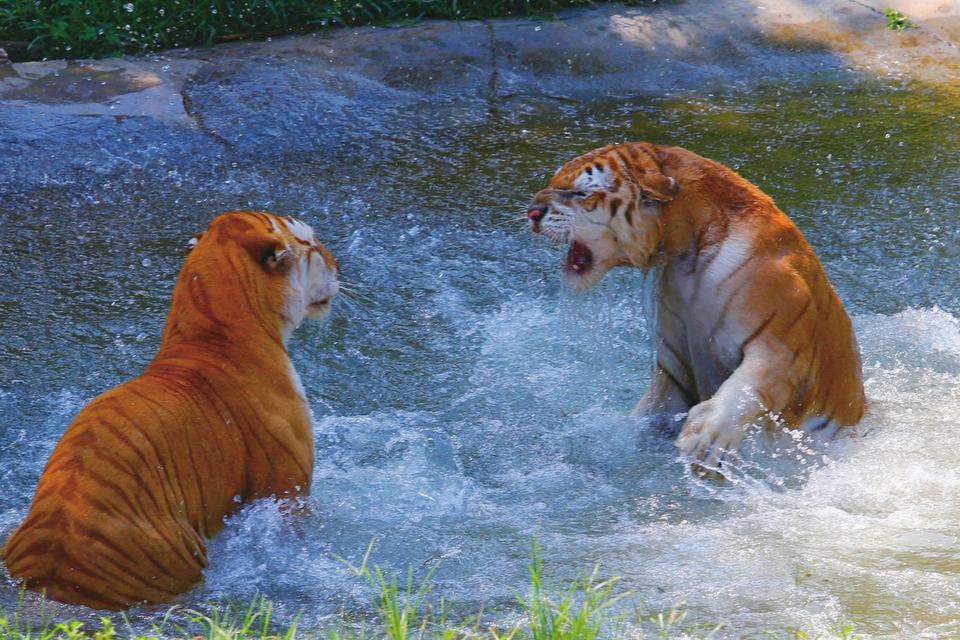 7月19日,济南气温高达37。面对湿热难耐的三伏天,济南野生动物世界针对不同种类的动物采取多种方式帮助它们防暑降温,安然度夏。   大熊猫娅双在空调展室内与冰块嬉戏玩耍。两只小棕熊戏水纳凉。两只金虎争夺纳凉权。   (吕传泉 郑硕 摄)