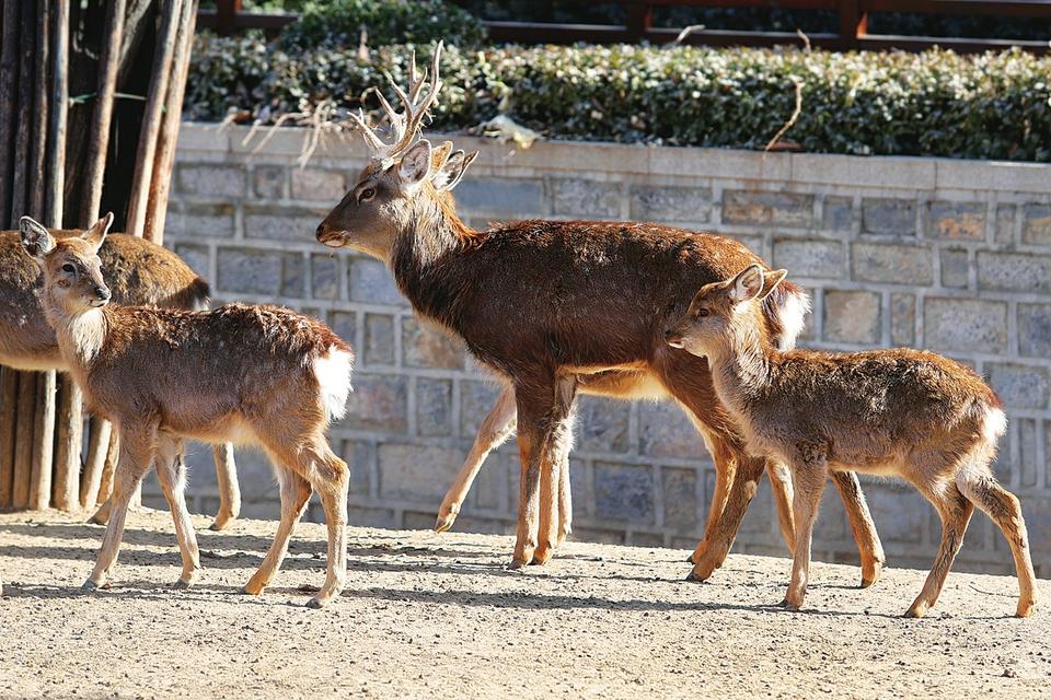 您瞧,新生的10只国家一级保护动物麋鹿已在这个大家庭中快乐成长,麋鹿