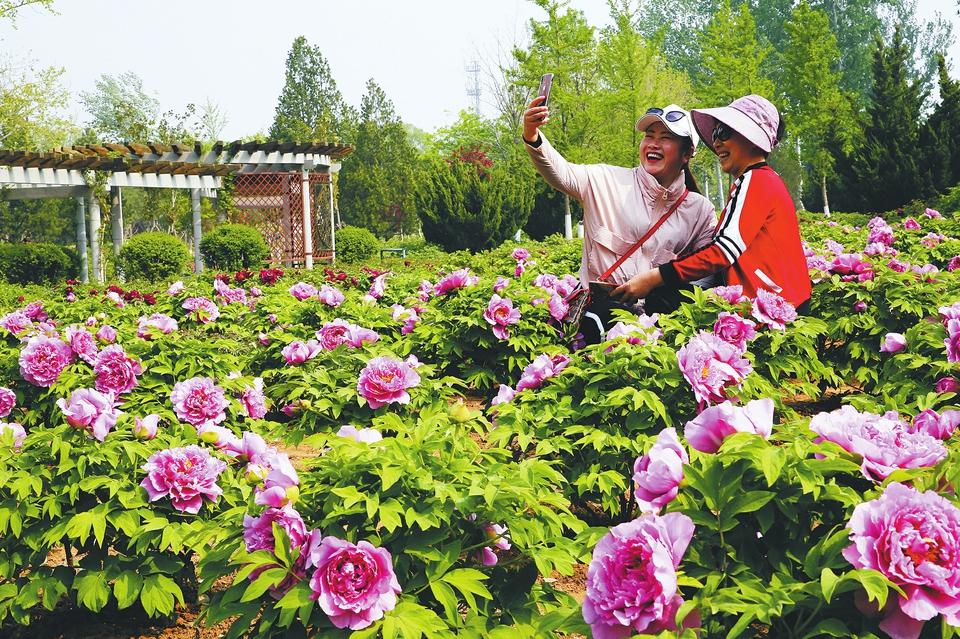 三万株牡丹花开植物园
