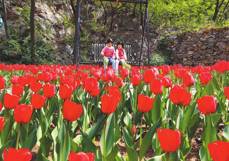 红叶谷:郁金香花开香满园