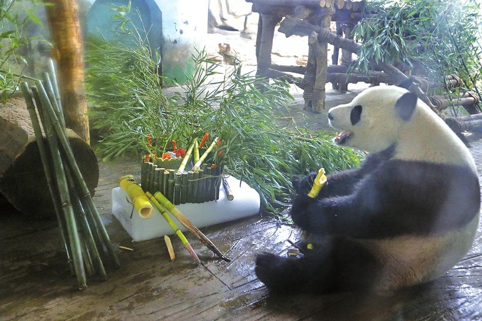 """济南动物园大熊猫""""雅吉""""""""华奥""""同过生日"""