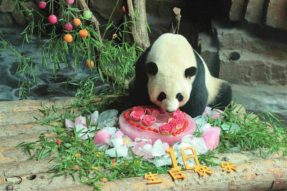 """济南大熊猫""""娅双""""18岁了 全国粉丝送祝福"""