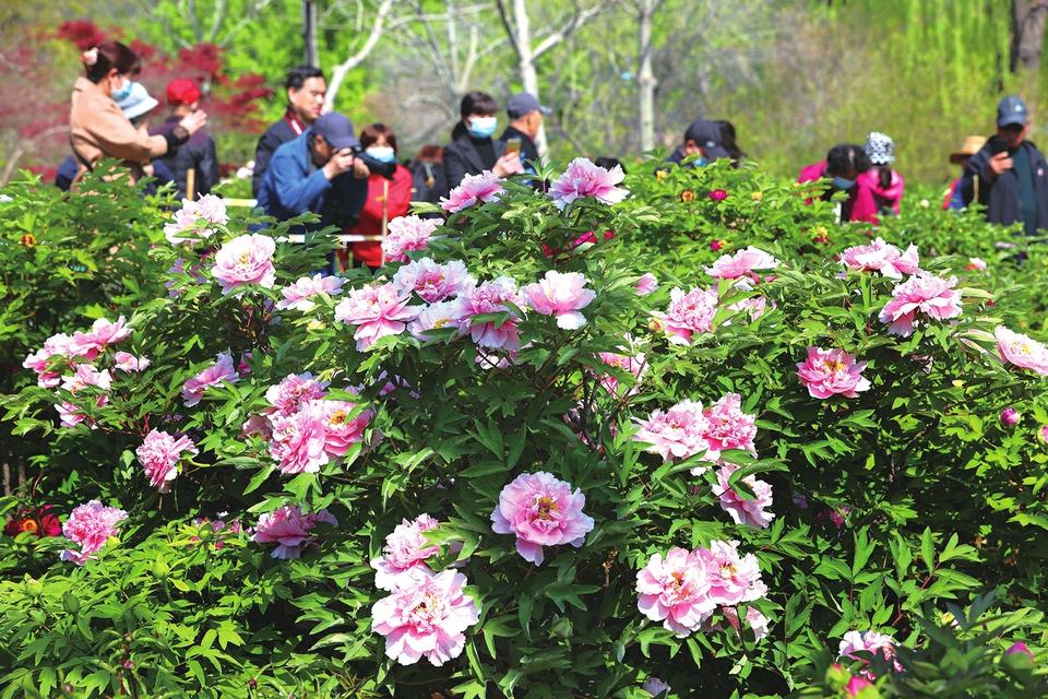 牡丹花开春满园 国色天香惹人爱