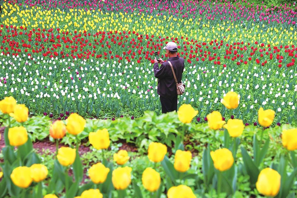 红叶谷云雾缭绕似仙境 郁金香花开正艳诗意浓